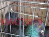 出售元宝鸽,大型元宝鸽一对多少钱,元宝鸽图片