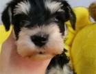 正规犬舍出售精品雪纳瑞幼犬包健康签协议送用品