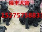 沧州卡斯罗犬价格,出售纯种卡斯罗犬