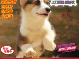 专业繁殖的柯基犬,包纯种保健康,可上门