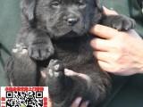 河南郑州拉布拉多幼犬宠物狗转让 拉拉图片价格 神犬小七同款