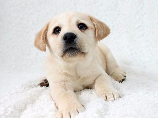 广州拉布拉多幼犬 纯种拉布拉多 包纯种健康 大头版骨架身形