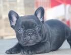 西安出售法国斗牛犬法斗狗狗法牛宠物犬黑色虎皮虎斑宠物狗活体