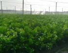 赣南优质纽荷尔脐橙苗,积壳苗,芽孢苗等各种果树苗!