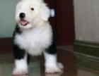 广州纯种古代牧羊犬价格,广州哪里能买到纯种古代牧羊犬