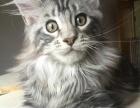 纯种带证缅因猫 银虎斑棕虎斑小猫预订找家