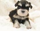 纯种的雪纳瑞多少钱 宠物店的狗靠谱吗