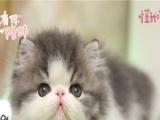 价格面议,自家繁育的加菲,猫爸有证。保证纯种健康