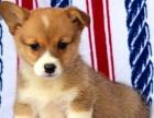 可货到付款 可基地挑选 专业繁殖柯基犬签协议包