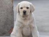 重庆拉布拉多犬多少钱 重庆拉布拉多犬哪家有纯种