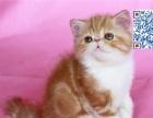 北京加菲猫繁育基地出售精品幼猫公母均有公母都有