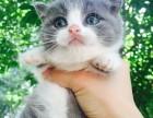 英短美短加菲猫幼猫多只 上门挑选保证健康 养活
