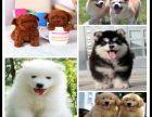 江苏苏州出售阿拉斯加狗狗多少钱一只阿拉斯加雪橇犬价格