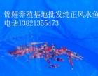 2016年AAAAA级纯种进口日本锦鲤水花 锦鲤鱼苗