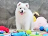 熱銷正宗澳版薩摩耶幼犬 自己繁殖好品相健康保證