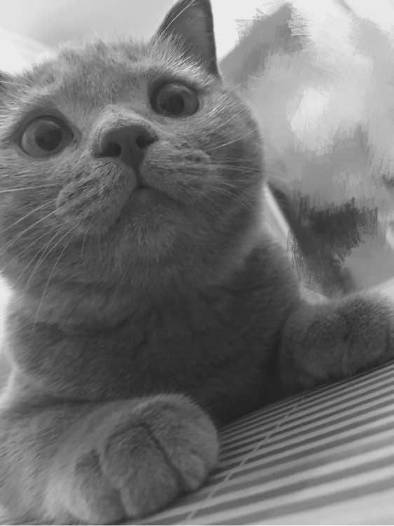 苏州哪里有蓝猫卖 蠢萌型 健康无廯送货上门 支持空运