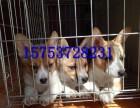 东莞柯基犬价格,哪里有柯基犬幼犬出售,多少钱一只柯基幼犬