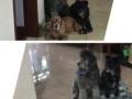 家庭式寄养 保证狗宝快乐安全健康