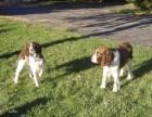 CKU冠军犬舍出售精品史宾格犬包纯包健康签订协议