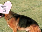 纯种德国牧羊犬价钱多少德牧幼犬价位德牧多少钱