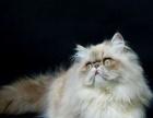 少见波斯品种~喜马拉雅猫~