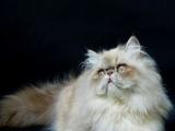 少见波斯品种~!喜马拉雅猫~!