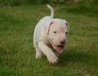 自家大狗生了一窝杜高犬可以上门看狗父母
