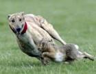 格力犬自家养殖 品相好 包健康 速度快 可上门看狗