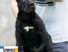高品质 意大利护卫犬 犬舍繁殖基地出售售后签署协议
