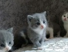 纯种英国短毛猫蓝猫猫咪母猫种母17年五月出生