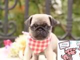 出售纯种巴哥幼犬小崽皱纹到位包健康可视频选购