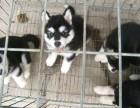 高品质巨型阿拉斯加幼犬待售红黑灰色均有 保纯保健康