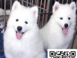 纯种萨摩耶犬 极地品质 多色选择 质量保证,全国包运费