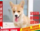 出售两色三精品纯种威尔士柯基幼犬 签协议包健康纯种