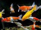 北京出售各類魚苗種類