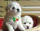 东莞出售比熊可卡泰迪哈士奇萨摩耶秋田德牧阿拉斯加等各种名犬