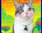 出售自家繁育纯种美短折耳猫 孟买猫