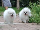 郑州出售 纯种博美幼犬 狗狗出售 可签协议健康保障
