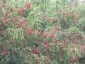 三明地区现有30万棵野鸦椿苗出售
