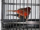 自家养的芙蓉鸟电话联系