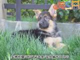 佛山宠之恋犬舍 只为国内繁殖优秀的宠物狗宝宝 德国牧羊犬