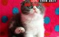 出售品相极佳纯种折耳猫蓝猫蓝白渐层苏格兰折耳虎斑