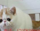CFA猫舍、正规猫舍繁殖加菲猫、异短、高品质