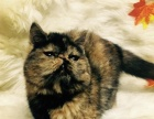 家养异国短毛猫加菲妹妹红梵文玳瑁妹妹加菲猫