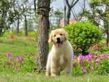 石家庄哪里有金毛寻回犬出售 金毛哪里的纯种健康 金毛什么价格