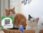 楚雄哪里开猫舍卖加菲猫 去哪里可以买得到纯种加菲猫