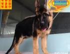 哪里有德国牧羊犬出售 德国牧羊犬多少钱一只 在哪里