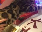 四个月豹猫小帅哥转让
