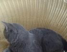宠物猫 英短猫 蓝猫找主人