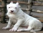 基地出售纯种杜高杜高幼犬赛级杜高犬已做疫苗驱虫